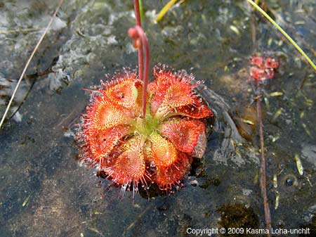 Sundew Close-up