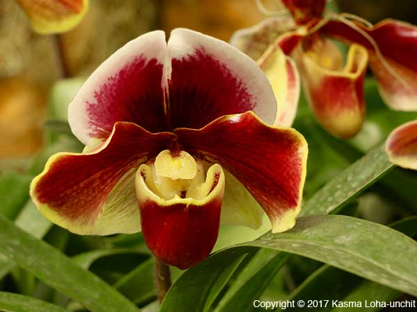 Lady Slippers 4